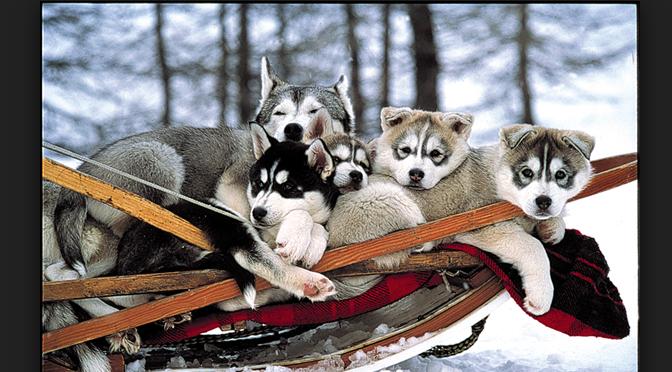 traîneaux à chiens. concours